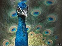 Peacock - generic