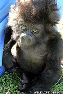 Kabila, an orphaned gorilla (Image: WildlifeDirect)