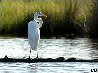 A Great White Egret in Maryland