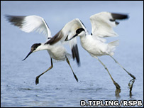 Avocet pair taking off (D.Tipling/RSPB)
