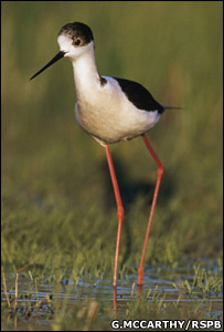 Black-winged stilt (G.McCarthy/RSPB)