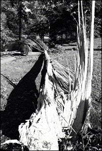 Broken tree at Kew Gardens after the 1987 hurricane (pic: RGB Kew)