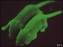 Ratones transgénicos