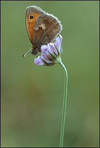 Small heath. Picture by Jim Asher