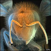 African bee. Image: Science Photo Library