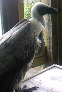 Wee Man the vulture
