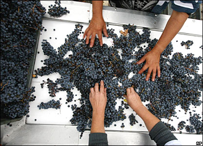Bulgarian workers sort grapes near the village of Korten, east of the capital, Sofia