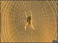 A garden spider