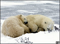 Polar bears sleeping on ice