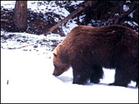 Brown bear (Wildlife Conservation Society)