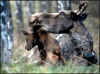 Newborn moose (Wildlife Conservation Society)