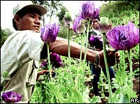 A Thai defence volunteer destroys opium poppies near the Thai-Burmese border