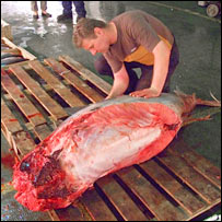 Cutting up tuna. Image: BBC