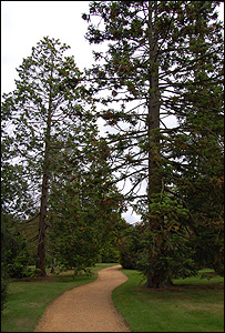 Conifer trees (Image: BBC)