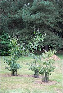 A sapling (Image: BBC)