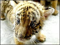 A South China tiger cub