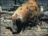 Feral pig - picture courtesy Queensland Government