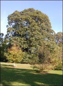 Chestnut leafed oak, Kew Gardens