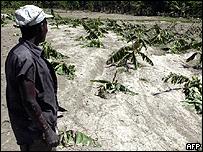 Un hombre examina los daños en sus plataneros en Cabaret, Haití