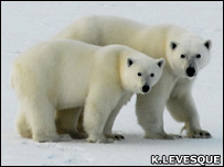 Polar bears (BBC)