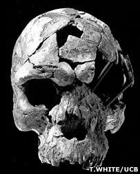 Herto skull, T White