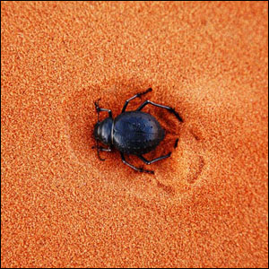 حشرة الجعران آكلة الجثث ايام الفراعنة - حقيقة ام خيال ؟