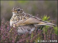 Skylark (Image: Ben Hall/RSPB)