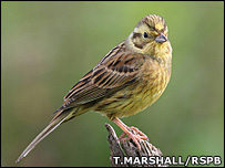 Yellowhammer (Image: Tom Marshall/RSPB)