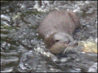 Otter in the Water of Leith