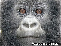 Semakuba, an infant gorilla