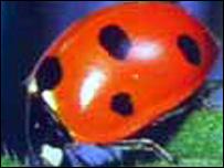 Seven-spot ladybird - Coccinella 7-punctata