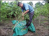 Cultivador de hoja de coca