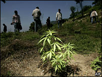 A marijuana plant at a clandestine plantation near Acapulco, Mexico