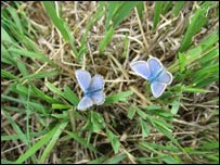 The Silver Studded Blue
