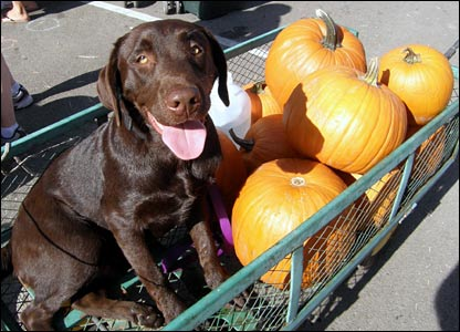 Dog sitting with pumpkins