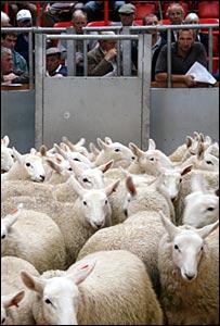 Lambs at Dingwall mart [Pic: Craig Anderson]