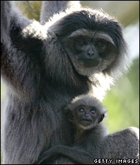 A mother and baby gibbon (file image)