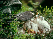 Peregrine falcon and chicks (Pic: RSPCA)