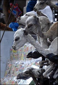 Llama foetuses for sale in market