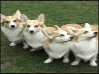 Four of the corgis