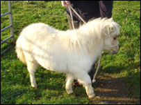 Miniature pony identical to the one stolen