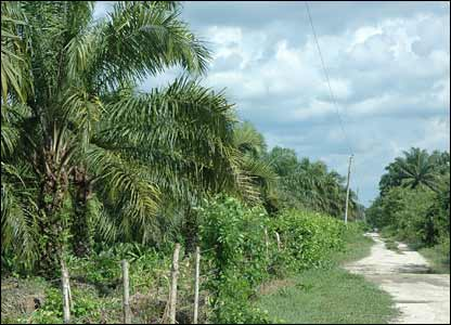 A palm tree plantation on the outskirts of town