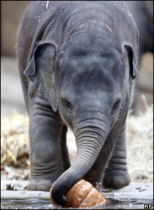 Six-month-old elephant