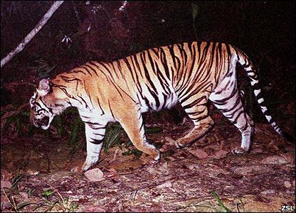 Sumatran tiger (Image: ZSL)