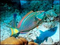 Parrotfish (G.Douwman/SPL)
