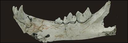 Sabretooth jaw  (Instituto Geologico y Minero de Espana - IGME)