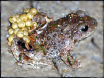 The male midwife toad (picture: Louise Lang)