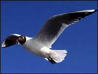 Black headed gull. Picture by George H Higginbotham