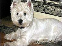 Edward, a West Highland terrier
