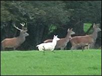 White red deer calf